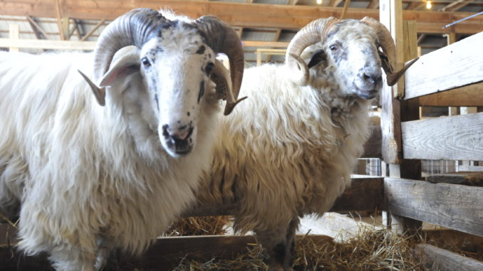 Maryland Wool and Sheep Festival this weekend - APG News
